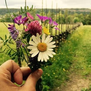 Midsommar, 7 sorters blommor #ekolsundsslott
